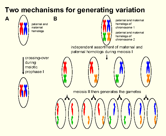 What occurs during meiosis and sexual reproduction which increases genetic diversity