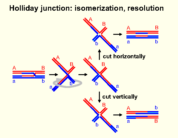 Cell cycle mitosis and meiosis iii gives staggered heteroduplex joint strand in one duplex paired with complementary strand in other key x shaped holliday junction ccuart Gallery